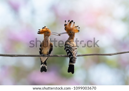 Eurasian hoopoe birds perching mouth to mouth with a  spider in between ,natural pink bokeh background. Lover bird.