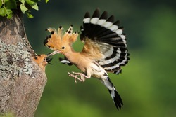 Eurasian hoopoe, upupa epops, feeding chick in flight in summer nature. Little birds nesting inside a hollow tree in summertime. Adult feathered animal in the air.