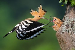 eurasian hoopoe, upupa epops, feeding chick inside tree in summer nature. Little birds eating from mother from hole in wood during summertime. Feathered animal with crest in flight with worm in beak.