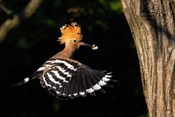 eurasian hoopoe, upupa epops, flying and holding a nymph of bug in beak in forest at sunset from side view. Bird with orange and brown feathers hovering in air with black and white striped wings.