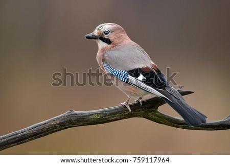 Eurasian Jay (Garrulus glandarius) #759117964