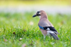 Eurasian jay (Garrulus glandarius), middle size bird with orange body, blue detail on wings, black and white head. Standing in the grass and leaves. Garden bird. European wildlife. Beauty blue eyes.