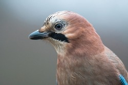 Eurasian jay (Garrulus glandarius) Portrait of this beautiful bird. Details of his blue eyes, fluffy feathers and beak. Dark background consist of winter country side. Scene from wild nature. Slovakia