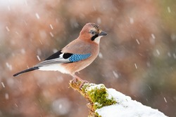Eurasian jay, garrulus glandarius, sitting on moss branch during snowing. Colorful bird with blue wings looking on snowy bough in snowstorm. Little brown feathered animal watching on white twig.
