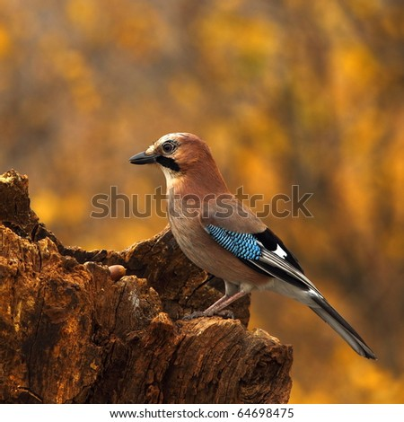 Eurasian jay (Garrulus glandarius) with a acorn, on a rotten stump
