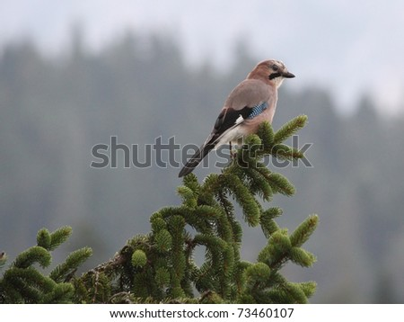 Eurasian jay on a firtree branch