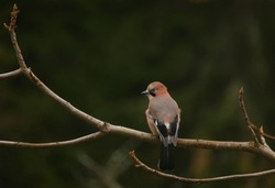 Eurasian jay on dark background. Closeup of a bird sitting on a tree branch looking at the camera. Brown bird with green and black background.