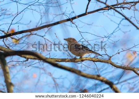 Eurasian Jay sitting on a tree branch. Blue sky background. Autumn in forest, Czech republic, Europe #1246040224