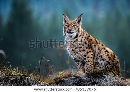 Eurasian Lynx #705339076