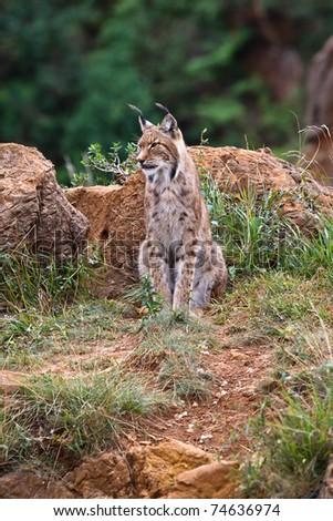 Eurasian lynx in a wild life park