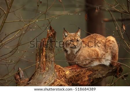 stock-photo-eurasian-lynx-is-sitting-on-