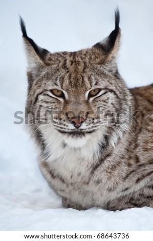 Eurasian lynx - (Lynx lynx)
