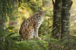 Eurasian Lynx, Lynx lynx, big predator, Bavarian forest National Park, Germany