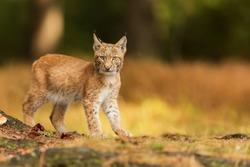 Eurasian lynx (Lynx lynx), cub walking in the forest