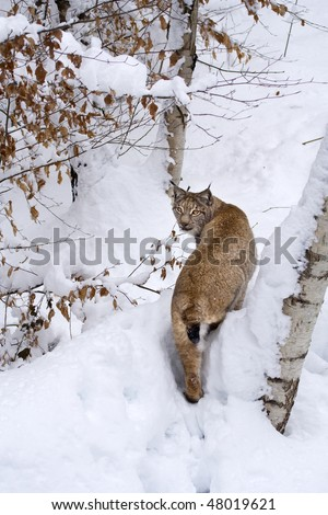 Eurasian lynx (Lynx lynx) on the snow near a birch tree. The lynx was chosen as the emblem of the Accademia dei Lincei (Lincean Academy - Italy), one of the world's oldest scientific societies.