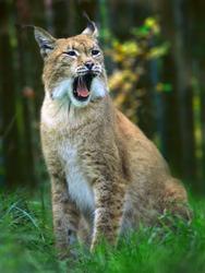 Eurasian lynx (Lynx lynx) portrait of wild cat
