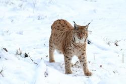 Eurasian lynx (Lynx lynx) standing in snowy forest. Beast of prey in winter season. Wild bobcat in nature. Wildlife scene from Bavarian forest. Habitat Europe, Asia.