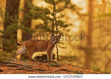 Eurasian lynx (Lynx lynx), very nice posing with sun rice background #1212539827
