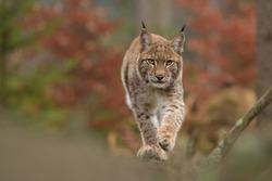 Eurasian Lynx ( lynx lynx) walk on the tree in the natural environment . Taken in Czech Republic