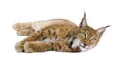 Eurasian Lynx, Lynx lynx, 5 years old, lying in front of white background, studio shot