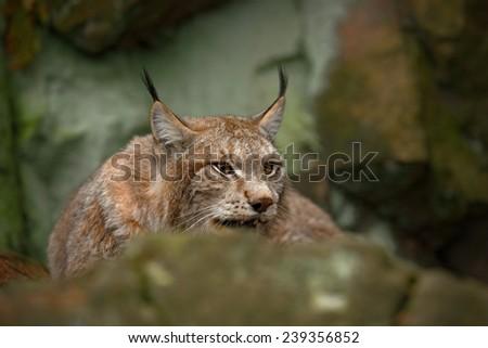 Eurasian Lynx sitting under rock