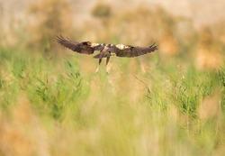 Eurasian Marsh harrier flying at Asker Marsh, Bahrain