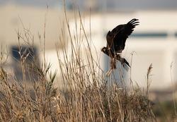 Eurasian Marsh harrier in between the tall grasses at Asker Marsh, Bahrain
