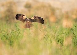 Eurasian Marsh harrier landing at Asker Marsh, Bahrain