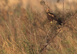 Eurasian Marsh harrier perched on a bush at Asker Marsh, Bahrain