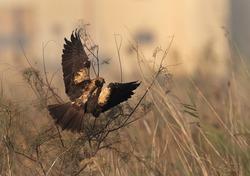 Eurasian Marsh harrier takeoff at Asker Marsh, Bahrain