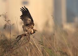 Eurasian Marsh takeoff at Asker Marsh, Bahrain