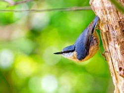 Eurasian nuthatch also called wood nuthatch hanging on a tree trunk in the forest