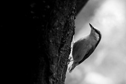 Eurasian nuthatch or wood nuthatch (Sitta europaea). Black and white photo of this small songbird. Black right side of photo consist of tree trunk. White diffused background. Scene from wild nature.