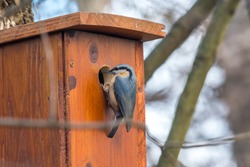 Eurasian nuthatch or Wood nuthatch (Sitta europaea) checking empty birdhouse in winter
