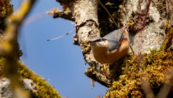Eurasian nuthatch (Sitta europaea) : beautiful bird with an orange belly and a black mask on the eye. Bird sitting on a branch with green moss. Golden light in winter. Wild fauna of Europe.