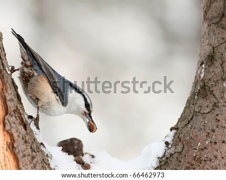 Eurasian Nuthatch ( Sitta europaea ) eating cedar nut