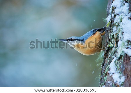 Eurasian nuthatch, Sitta europaea perched to a larch trunk covered by snow