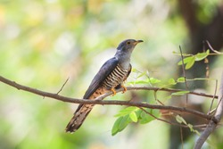 Eurasian or common Cuckoo (Cuculus canorus) nicely perching on wooden branch over fine blur green background in soft lighting environment, exotic grey bird
