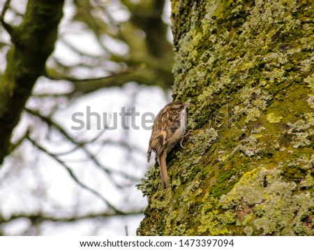 Eurasian or common treecreeper (Certhia familiaris) perching on a trunk with gray blurred background. Concepts: birdwatching, wildlife, ornithology