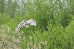 Eurasian or Common White Spoonbills in flight, (Platalea leucorodia)