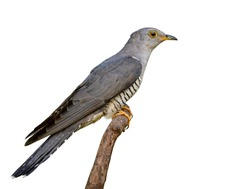 Eurasian or Himalayan Cuckoo (Cuculus canorus) beautiful slim grey bird with yelow eye wings nicely perching on wooden branch isolated on white background, exotic creature