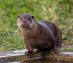 Eurasian Otter (Lutra lutra) Immature standing at edge of pool with wet fur,in care at wildlife rescue centre.