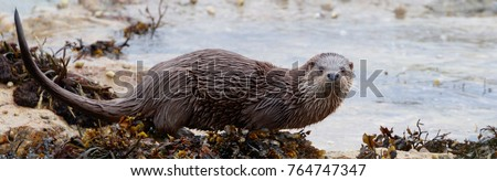 Eurasian otter (Lutra lutra) seen in on the Isle of Mull in Scotland