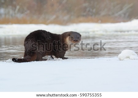 Eurasian Otter. Otter lies on the river ice.
