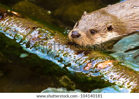 Eurasian otter swimming over the branch