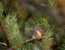 Eurasian pygmy owl (Glaucidium passerinum) is the smallest owl in Europe. Eurasian pygmy owl hides among the green branches of a pine tree - an example of camouflage in nature.