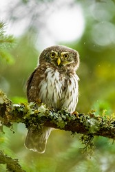 Eurasian pygmy owl (Glaucidium passerinum) sitting on a mossy stick in the forest and staring. Cute brown owl in its environment with soft green background. Widlife scene from nature. Czech Republic
