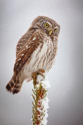 eurasian pygmy owl sitting on branch in natural light