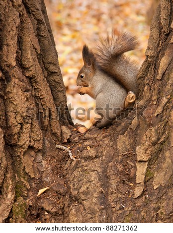 Eurasian red squirrel in grey winter coat