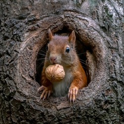 Eurasian red squirrel (Sciurus vulgaris) cautiously peeks out of the hole in a tree in the forest of Drunen, Noord Brabant in the Netherlands.